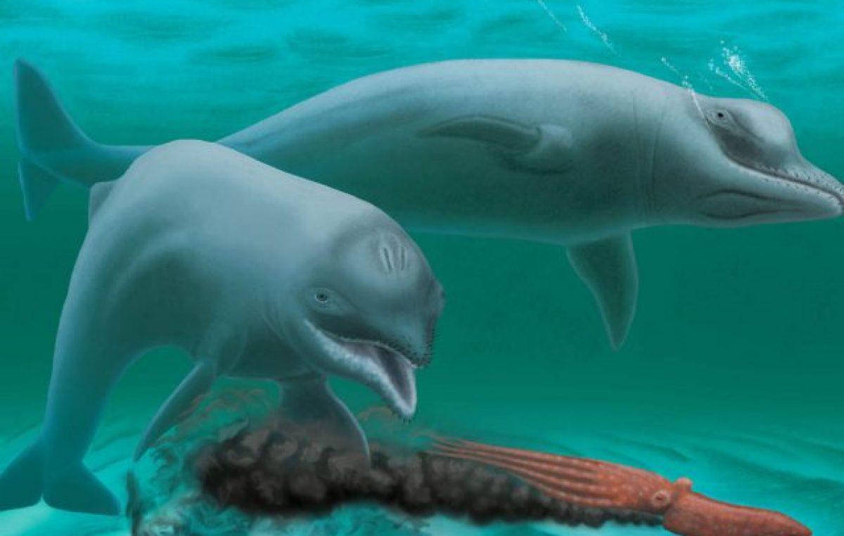 Descubierta una antigua especie de delfín, enano y sin dientes