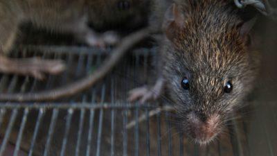 Adolescente parapléjica atacada por ratas en su cama en Francia
